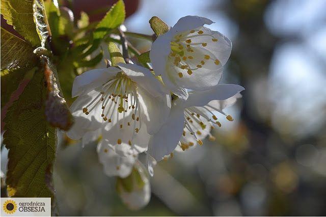 Ogrodnicza Obsesja: Pierwsze tygodnie wiosny - cieszę oko, liczę strat...