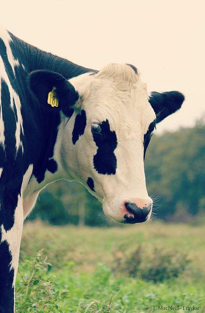 Een prachtige gevlekte koe. Zijn koeien wit met zwarte vlekken of zwart met witte vlekken? Lees het hier: http://www.milkstory.nl/artikel/vraag-antwoord-zijn-koeien-wit-met-zwarte-vlekken-zwart-met-witte-vlekken  #cow #spot #koe #farm