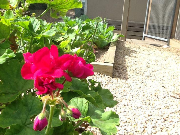 pink flower in the vegie garden #pinkfllowerinavegiegarden