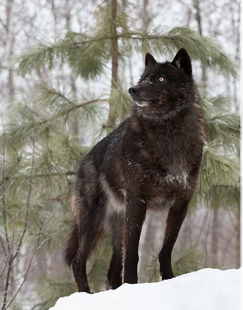 White Wolf : Perfect Timing Photos: A Close Encounter With A Minnesota Black Wolf