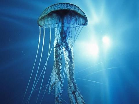 49 best under the blue images on pinterest jellyfish