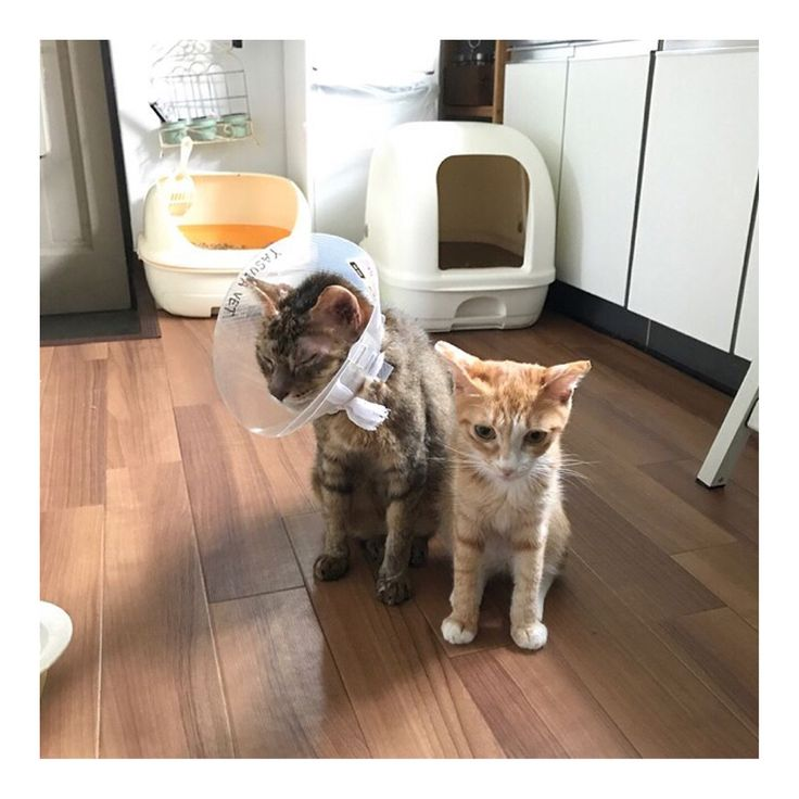 【緊急です!拡散ご協力お願いします】 先天性の心臓病で苦しんでいる  @kozuesugiyama さんのお家の猫ちゃんの手術費用の募金等ご協力をお願いいたします。 猫ちゃんの名前はマロンさん。私の愛猫こむぎと似た茶トラのマロンさんは、こむぎと同じ心臓の中に生まれつき穴が空いている心室中隔欠損症という病を患っています。 マロンさんは先住猫のモカさんのセラピーキャットとして迎え入れた保護猫ちゃんで、モカさんを普通の生活ができるまで回復させてくれた天使のような猫ちゃんです。 こむぎの場合は詳しい検査をした時は既に病気が進行しており、肺高血圧の合併症が起きてしまっていたため手術は不可能な状態だったことから薬での延命治療を余儀なくされましたが、マロンさんはまだ肺高血圧は発症していないため、手術が可能な状況です! けれど手術には高額な費用がかかります…。 病気は刻一刻と進行しているため、いつ肺高血圧が発症して手術が不可能になってもおかしくありません。 どうか手術が出来なくなる前に何とか受けさせてあげたいです。…