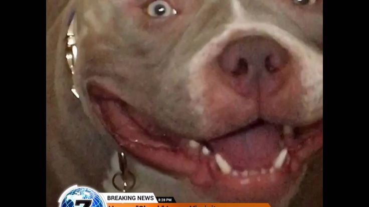 American Bully Howls After Losing Virginity