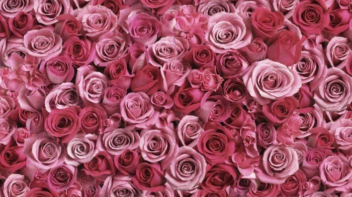 Rose  die Königin unter Blumen, wunderschöne Hintergrundbilder mit Blumen, die prachtvolle Blumenwelt