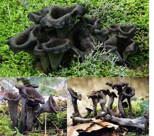 Horn of Plenty mushroom (Craterellus cornucopioides).  Also found in Australia