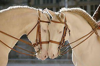 Albino horses: Montar A Caballos, Beautiful Animal, Beautiful Hors, Cremello Lusitano, Albino Out, White Hors, Baroque Off, Cremello Hors, Hors Riding