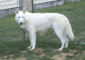 white german shepherd mix....ed with wolf?! lol so beautiful!