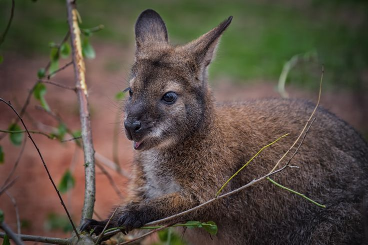 RED-NECKED WALLABY - Macropus rufogriseus