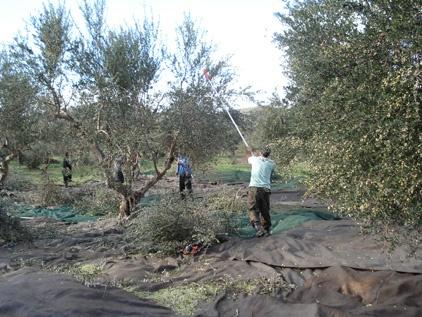 Olive harvest in Messinia, Greece