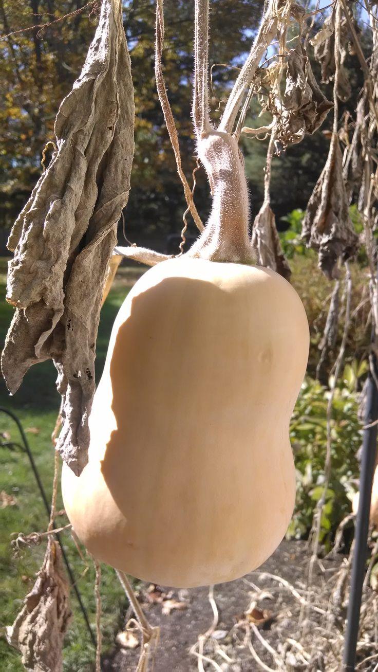 October 23, 2013 Butternut Squash on the grape arbor.