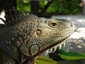 Lady Iguana