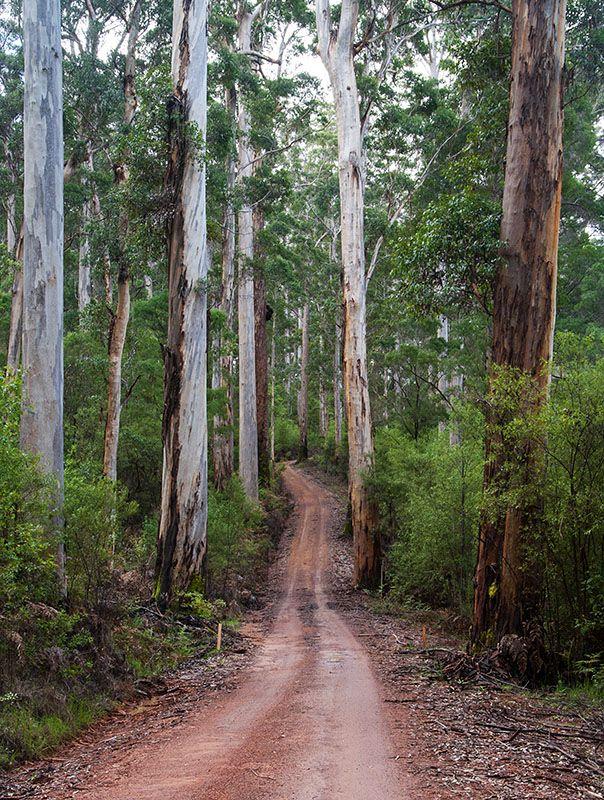 Tall Karri Trees, Pemberton, Australia Copyright: Ian Fegent