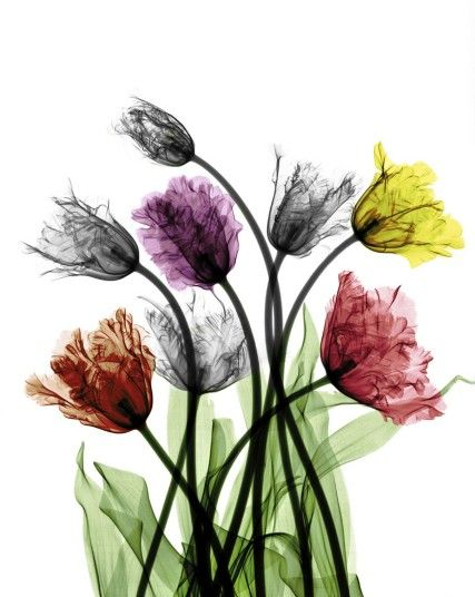 Tulips by Arie van Riet (colourised X-ray photography)