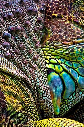Helen Beresford photography        Iguana, 2013    Norton Juxta Twycross, England