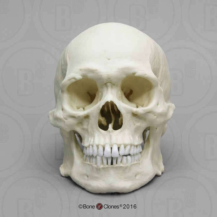 Human Male Asian Robust Skull