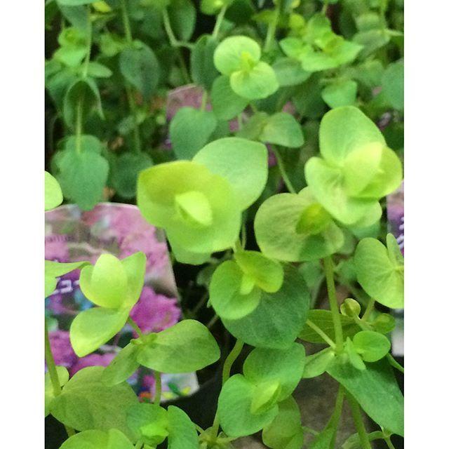 【veggieplus】さんのInstagramをピンしています。 《『オレガノ ケントビューティー』葉っぱがピンク色に色づくハーブ♪と、言っても園芸品種なので食用にはできません(-ω-;)でも、ドライフラワーには適してます(o^^o)また、寒さにも強く屋外で越冬可能ですよ♪逆に夏の高温多湿には弱いです(+_+)#大阪#天王寺#赤松種苗#グリーン#観葉植物#veggie#ベジープラス#veggieplus#多肉植物#サボテン#鉢#ハーブ#緑#水耕栽培器#園芸雑貨#エアープランツ#プリザーブドフラワー#テラリウム#鉢花#オレガノケントビューティー》