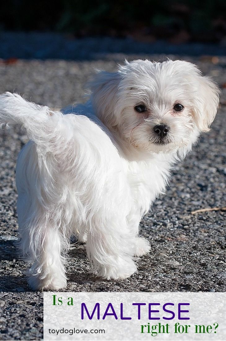 Thinking about adding a Maltese to your family? Here's everything you need to know about this toy breed - personality, adaptability, grooming and exercise needs and kid-friendliness.