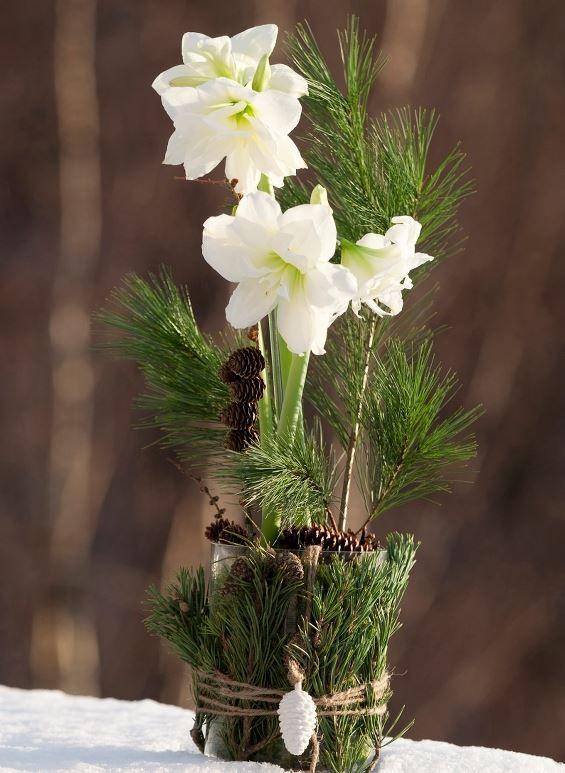 Amaryllis - elegant sør-amerikaner