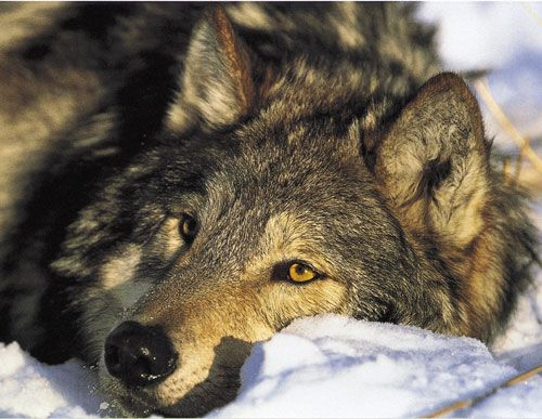 It is from the wolf that we learn how the family structure evolves and endures...