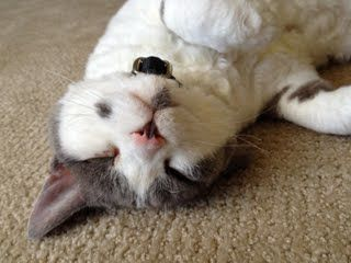 Devon rex, Chester and Devon on Pinterest