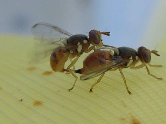 España estudia soltar miles de moscas transgénicas contra la plaga del olivo | Ciencia | EL PAÍS