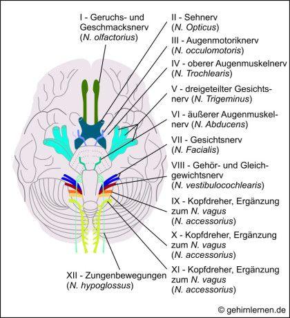 """Gehirn und Lernen - Der Hirnstamm oder das """"Reptiliengehirn""""                                                                                                                                                      Mehr"""