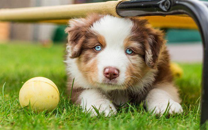Lataa kuva Pentu, Australian Shepherd, koira, söpöjä eläimiä, Siniset silmät