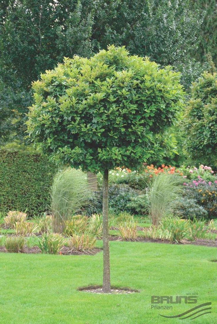 Quercus Palustris - Bol Moeraseik http://pratec.nl/product-categorie/bomen/?filtering=1&filter_latijnse-naam=267 Bolbomen zijn kleinblijvende bomen, omdat de meeste soorten geënt zijn, blijft hun stamhoogte gelijk.