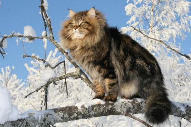 Russia Siberian Forest Cat Personality                                                                                                                                                                                 More