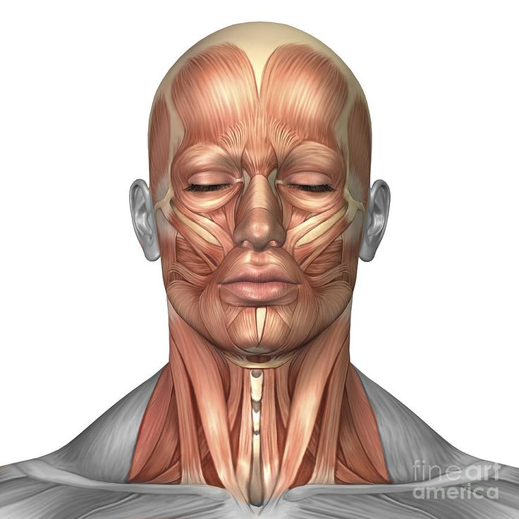 Anatomy Of Human Face And Neck Muscles Digital Art