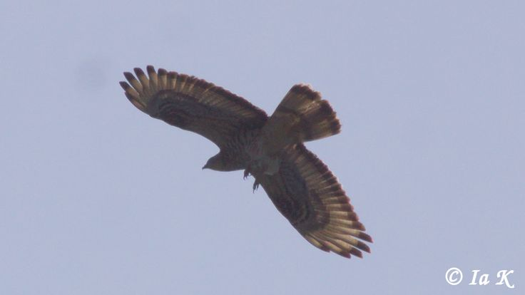 Here comes the Common Buzzard! This one I captured...