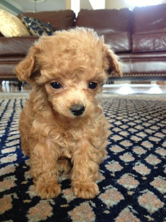 Toy poodle height at 8 weeks