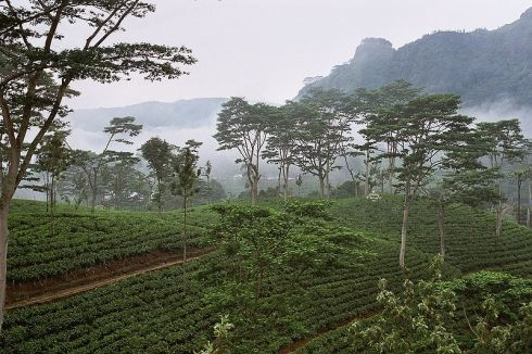 Ceylon — Altitude where tea is grown varies from sea level to about 2,000 meters. These changes affect climate conditions, which affect tea taste. The teas are therefore classified into three growth zones:    Low (sea level to 600 meters)  Medium (600-1200 meters)  High (1200meters and above)