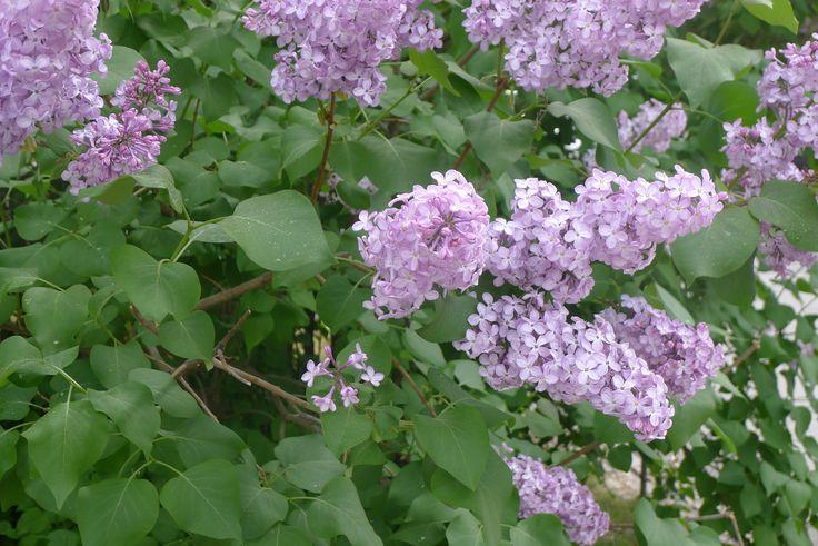 Pihasyreeni (Syringa vulgaris) - Töölön kisahalli, 29.5.2016