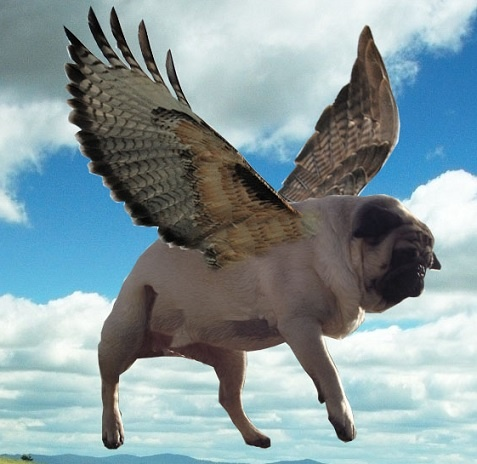 I will believe this when pugs fly pug wings rotties for Best airline to fly dogs