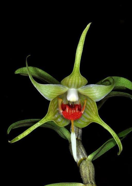 Orchidée Dendrobium Tobaense