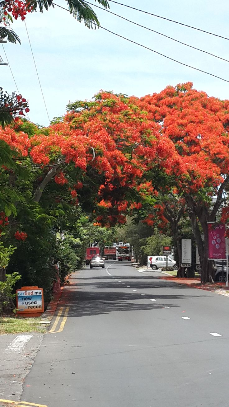 Beauiful Flamboyant Tree.... Grand Baie Mauritius