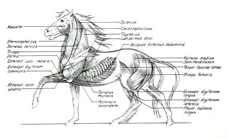 Horse Anatomy - Muscles
