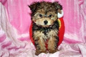 teacup #maltipoo #dogs #cute