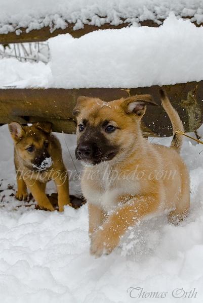 Winter, Hunde, Schnee