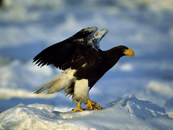 Steller's Sea Eagle: Holding its prey down with powerful talons, a Steller's sea eagle displays its wings, which can have a span of over 6 feet (2 meters).