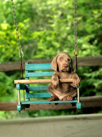 William Wegman...brown veimaraner puppy on a swing