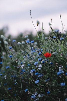 Matilda Audas Björkholm - Blåklint. Blue cornflowers and red poppys.