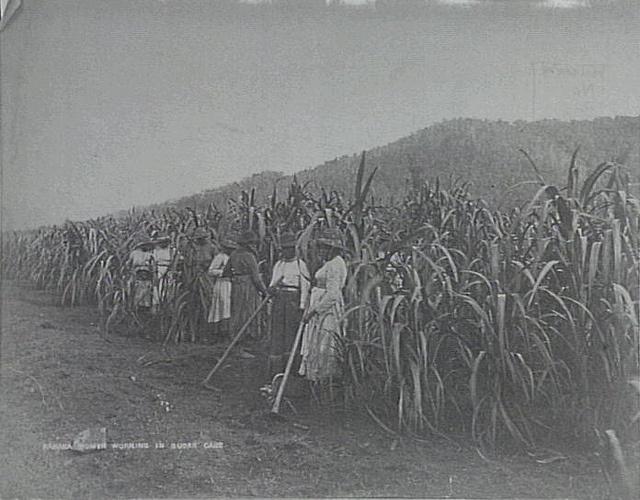 Female Kanakas (South Sea Islanders) working in sugar fields Cairns 1890