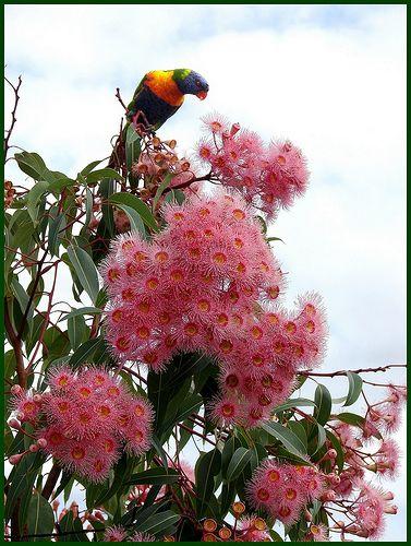 Give me a home among the Eucalyptus ficifolia...with room for a rainbow lorikeet too.