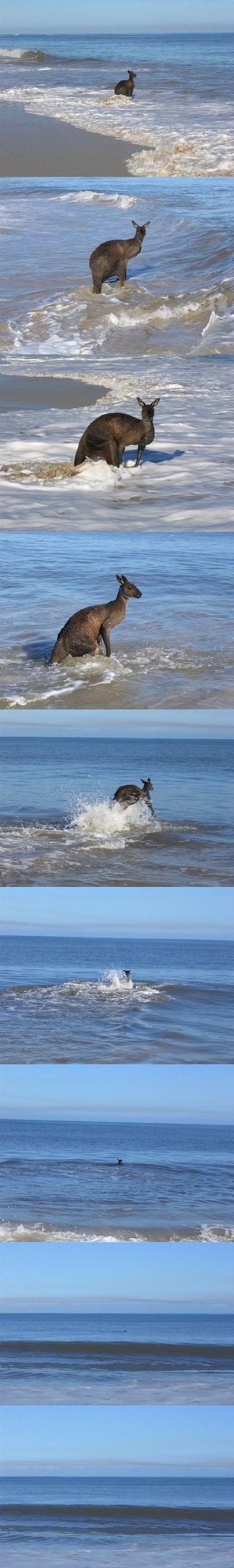 - kangaroo swimming