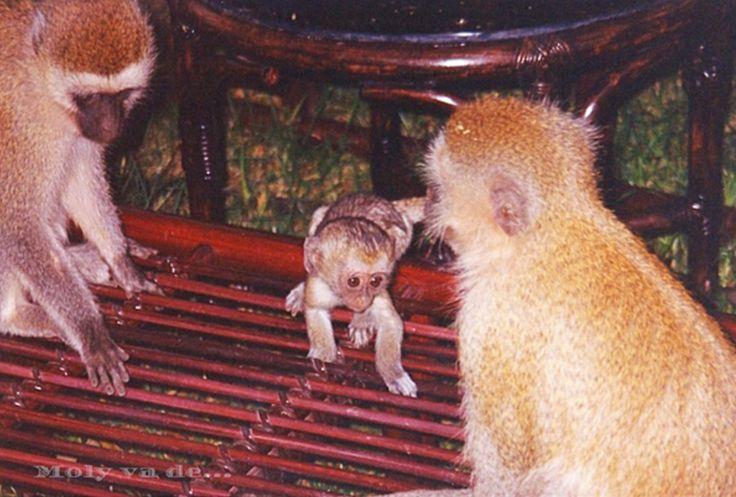 Esos juguetones simios!  #Molyvade...#viaje #África #Kenia #Amboseli molyvade.blogspot.com