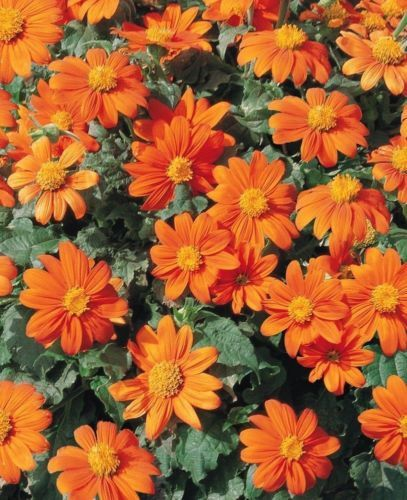 Mexican Sunflower Orange (Tithonia Speciosa Goldfinger) 100 SEEDS Mexican Sunflower Goldfinger can be easily grown from Tithonia seeds. The incredible 3 - 4 inch orange flowers are excellent for cutti