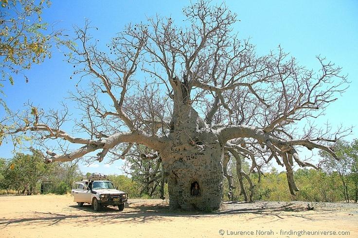Prison Boab Tree on the Gibb River Road