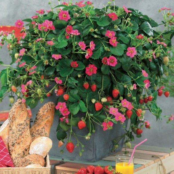 Denumire oficială:Fragaria ananassa 'Toscana F1 Deep Rose' Denumire populară:căpşuni veşnic roditori Familia de plante:Rosaceae Potrivit pentru cultivare in ghivece, jardiniere sau plantata in gradina, cu flori de aproximativ 4 - 5 cm diametru, face stoloni de pana la 1m. Florile sunt roz inchis, atractiv prin flori si fructe, produce fructe gustoase, din luna mai pana toamna tarziu. Plantele sunt la tavite Pack de 10 plante. Pretul este pentru 1 planta. Poate fi comandata de la 1 ...